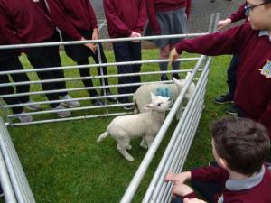 Lambs (1)