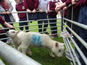 Lambs (10)