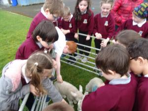Lambs (11)