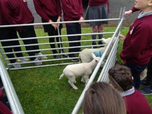 Lambs (2)