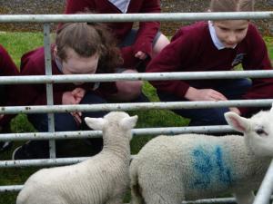 Lambs (5)