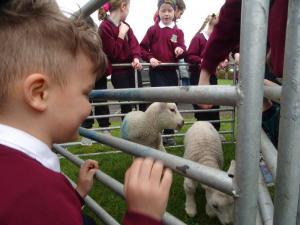 Lambs (9)