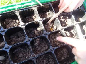Planting beech seeds 2019 (10)