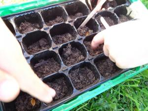 Planting beech seeds 2019 (11)