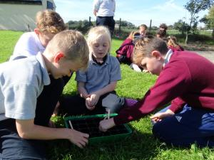 Planting beech seeds 2019 (13)