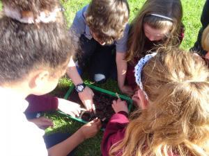 Planting beech seeds 2019 (14)