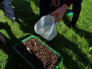 Planting beech seeds 2019 (15)