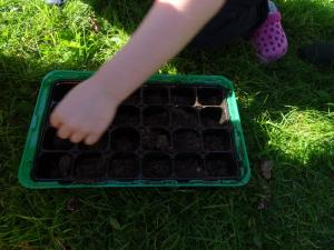 Planting beech seeds 2019 (1)