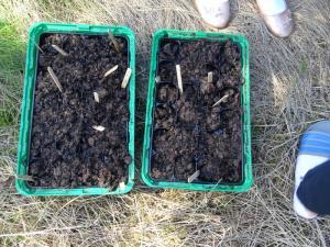 Planting beech seeds 2019 (21)