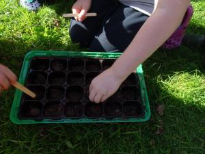 Planting beech seeds 2019 (2)