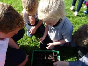 Planting beech seeds 2019 (3)