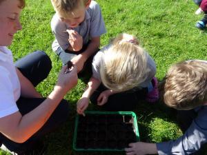 Planting beech seeds 2019 (4)