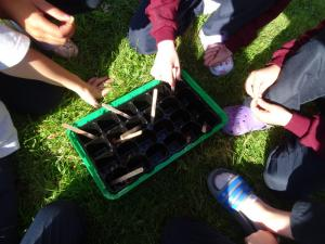 Planting beech seeds 2019 (7)