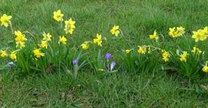 Daffodil Day 2017 DSC07642 (3)