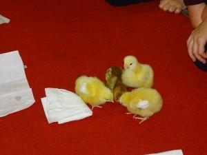 chicks last day (31)