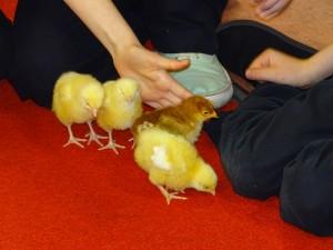 chicks last day (34)