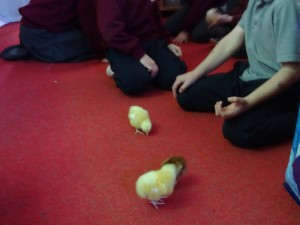 holding chicks (23)