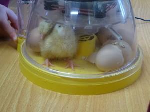 incubator (16)